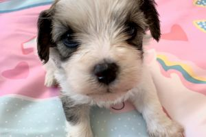 Cavachon For Sale in the UK