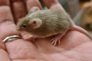 Mouse Rodents Breed