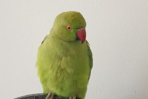Available Ringnecks