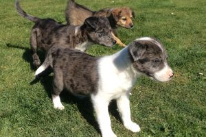 Cute Border Collie For Sale