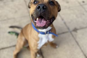 Staffordshire Bull Terrier For Stud in Great Britain