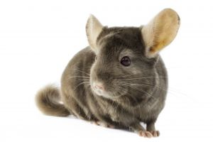 Chinchilla Wanted