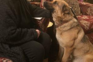 German Shepherd for Rehoming
