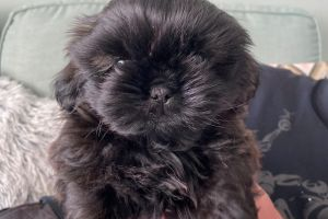 Shih Tzu For Sale in the UK