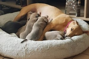 Whippet For Sale in Lodon