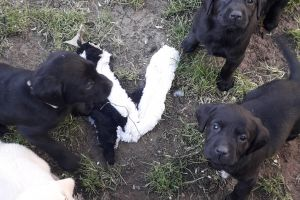 Labrador Retriever Online Ad