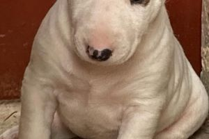 English Bull Terrier Advertisement UK Pets