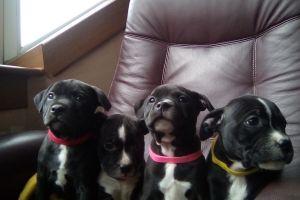 Staffordshire Bull Terrier Online Ad