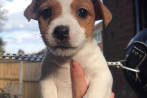 Jack Russell For Sale in Great Britain
