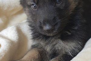 German Shepherd Advertisement UK Pets
