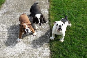 Available English Bulldogs