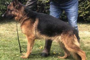 German Shepherds for Rehoming