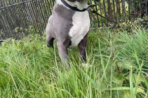 American Staffordshire terrier Dogs Breed