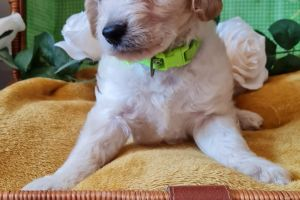 Cute Cockapoo For Sale