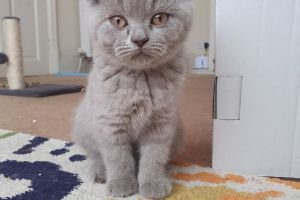 British Shorthair Cats Breed