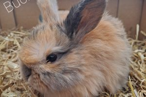Mini Lop For Sale in Lodon