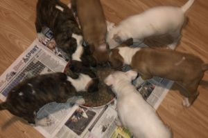 English Bull Terrier For Sale in Lodon