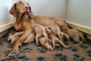 Hungarian Vizsla Online Listings
