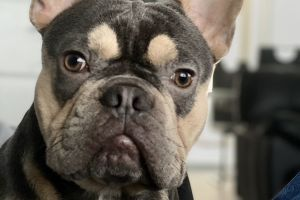 French Bulldog For Stud in Great Britain