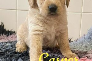 Labradoodle for Rehoming