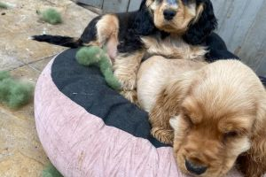 Cocker Spaniel For Sale in the UK
