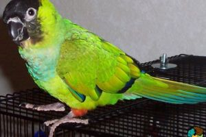 Conure Online Listings