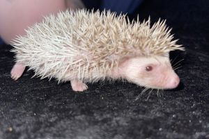 Pygmy Hedgehog Rodents Breed
