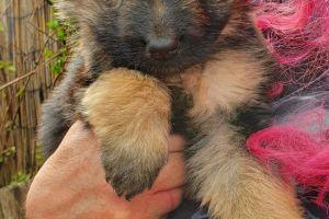 Cute German Shepherd For Sale
