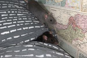 Rat For Sale