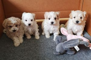 Maltipoo For Sale in the UK