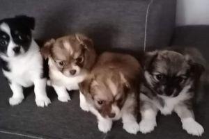 Cute Chihuahua For Sale