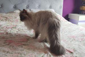 Ragdoll Cats Breed