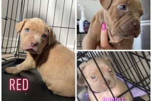 American Bully For Sale in Great Britain