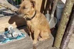 Lakeland Terrier Advertisement UK Pets