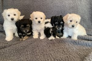 Maltipoo Online Listings