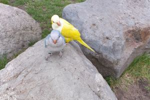 Parakeets for Rehoming