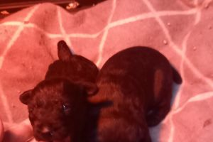 Patterdale Terriers for Rehoming