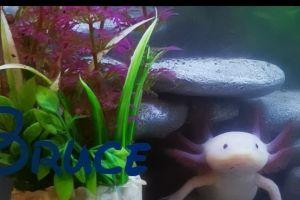 Axolotl For Sale in the UK