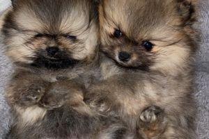 Pomeranian Advertisement UK Pets