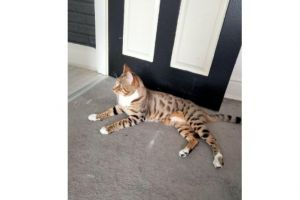 Bengal Cats Breed