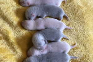 Ferret Rodents Breed