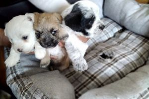 Morkies for Rehoming