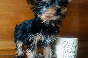 Yorkshire Terrier Online Listings