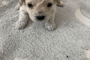 Cute Poochon For Sale