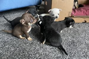 Available Chihuahuas