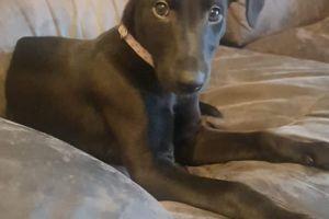 Greyhound Advertisement UK Pets