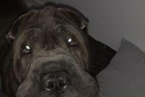 Shar Pei Dogs Breed