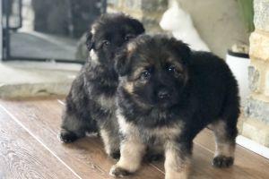 German Shepherd For Sale in the UK