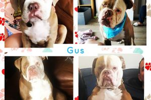 Old Tyme Bulldog For Stud in Great Britain