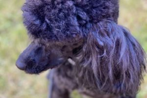 Toy Poodle For Stud in the UK